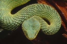 Ular Green Bush Viper, Ular Berbisa dan Berbahaya di Dunia