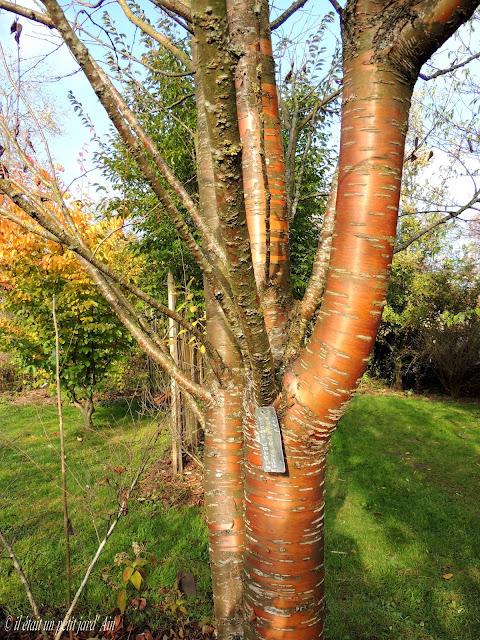 jardin des avettes prunus amber beauty