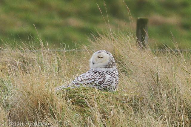 Snowy Owl Snettisham