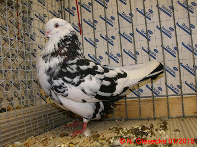 pigeon bremen - tummler