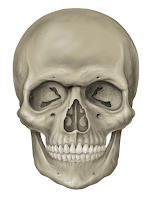 Skull (tengkorak)