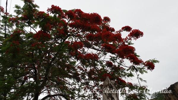 Árvores com flores vermelhas