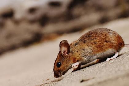 10 Cara Ampuh dan Aman Mengusir Tikus untuk Kesehatan