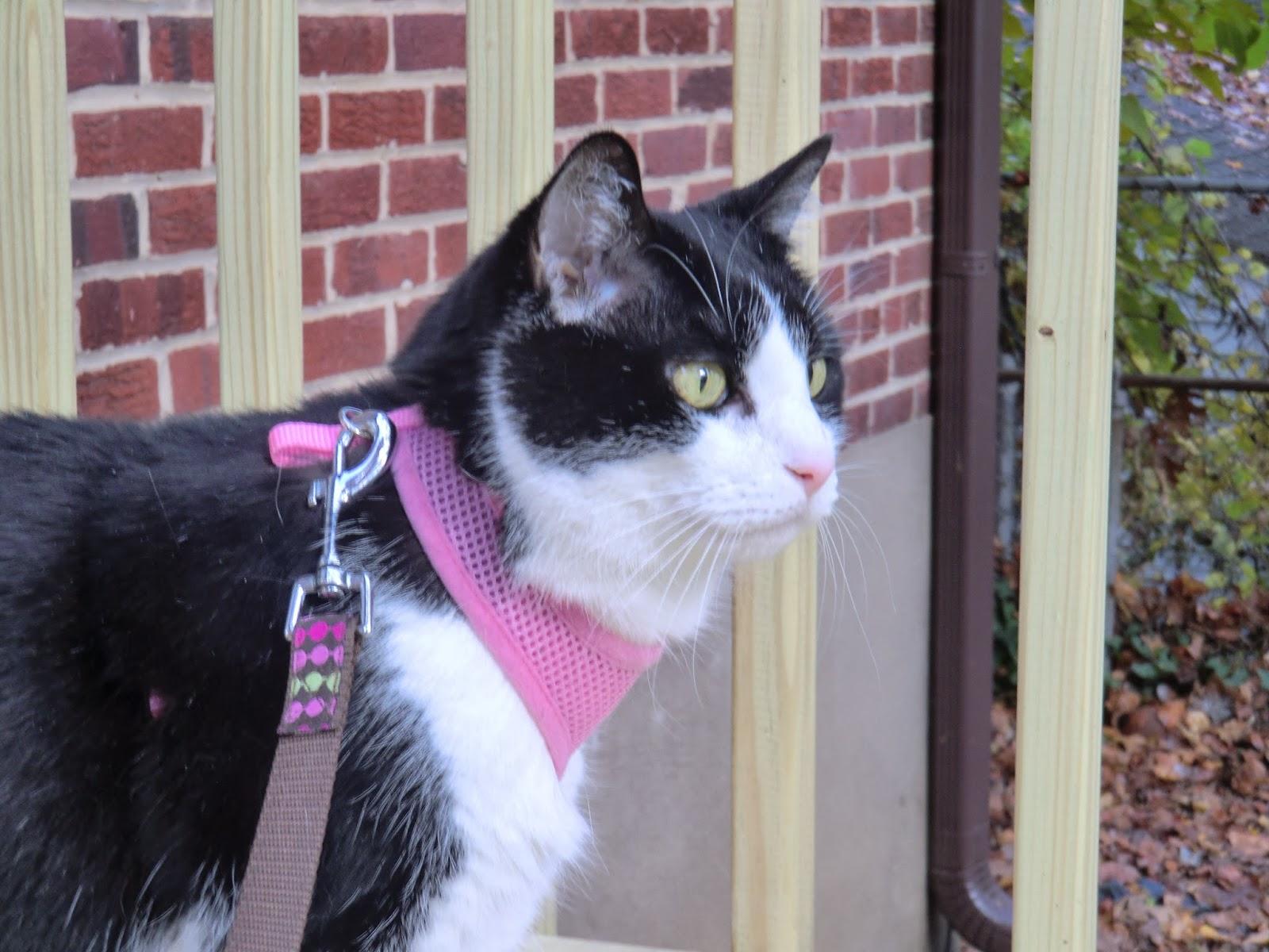 Diabetic Cat Sebastian Needs a Home