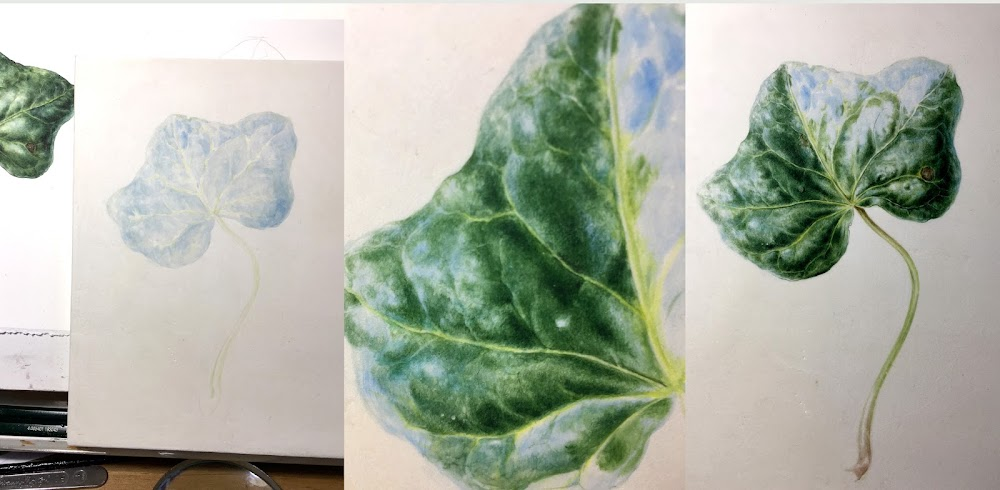 Process of painting and ivy leaf on vellum in stages