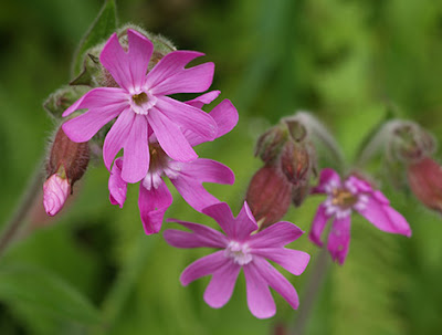 Flores masculinas rosas de Silene dioica
