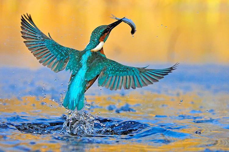 Kingfisher Flying The Kingfisher ...