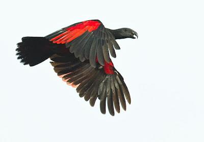 Pesquet´s parrot