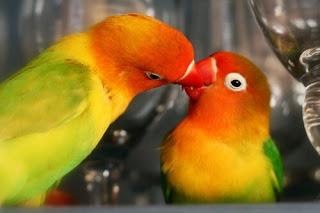 Jenis dan Porsi Makanan Lovebird Biar Cepat Birahi
