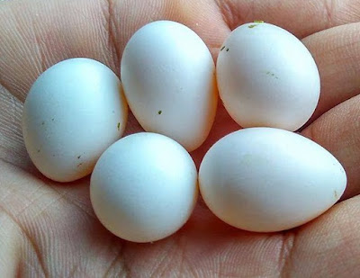 Penyebab Telur Gagal Menetas