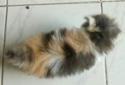 Kucing Bandung