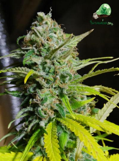Planta de marihuana en etapa de floración