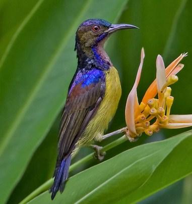 Jenis Makanan Burung Kolibri Kelapa Paling Lengkap Kicau Mania
