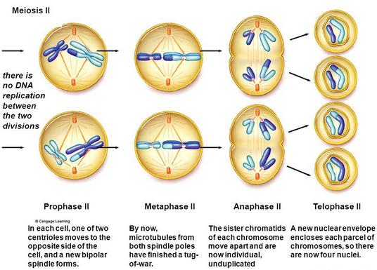 Pengertian Proses Dan Tahap Pembelahan Sel Secara Miosis Dan Mitosis Catatan Pelajar
