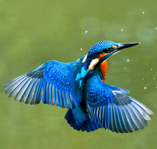 Indian birds - Image of Common kingfisher - Alcedo atthis