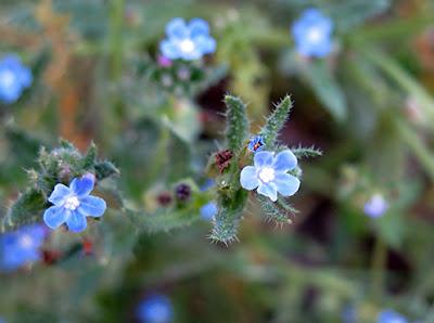 Licópside (Anchusa arvensis) flor silvestre azul