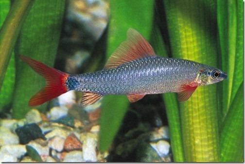 Cá Chuột Thái