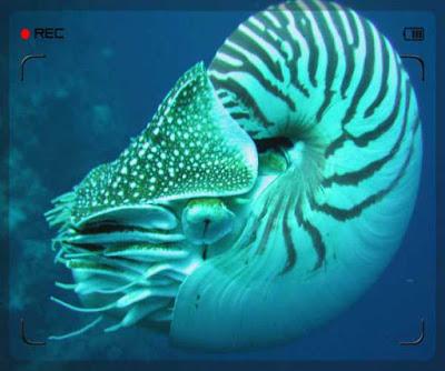 النوتر البحار Nautilus