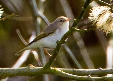 Western Bonelli's Warbler (Church Norton)