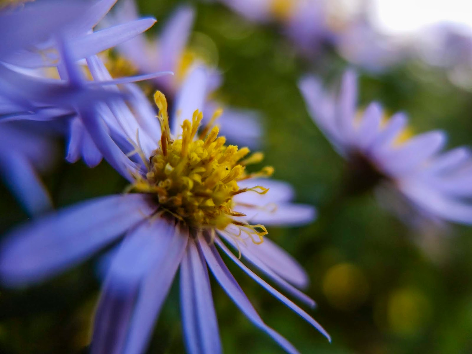A close up of a purple Aster flower with a yellow centre.