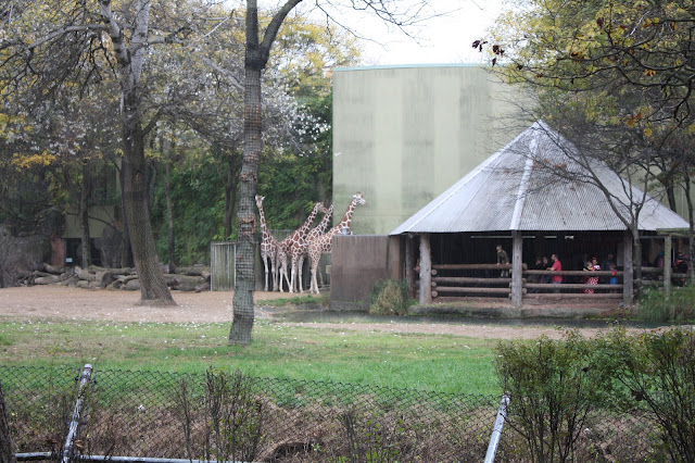 Giraffes on a fall day at Brookfield Zoo