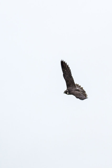 Swooping Peregrine