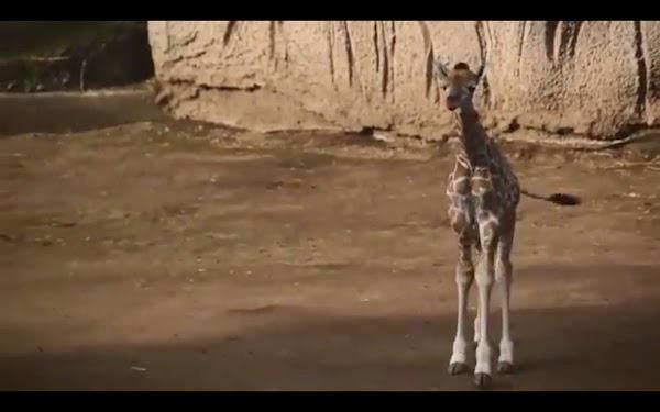 Video Nace jirafa por segundo año consecutivo en Chapultepec