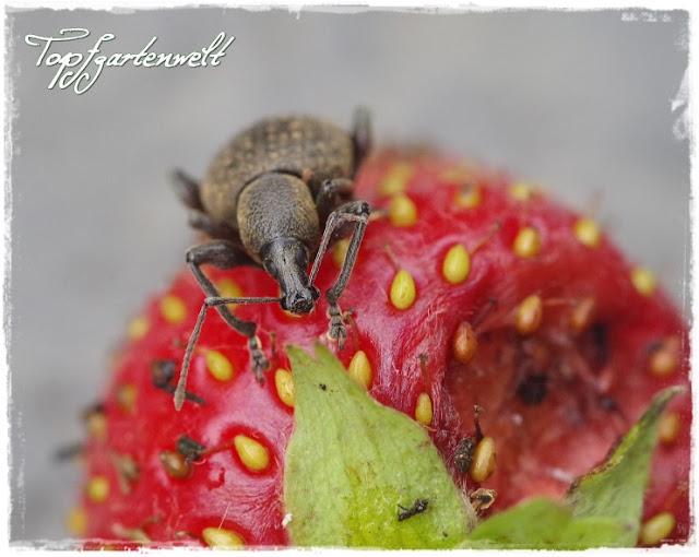 Gartenblog Topfgartenwelt Schädlinge: gefurchter Dickmaulrüssler auf Erdbeere