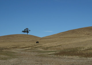 One tree, one head of cattle, golden hills