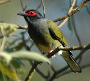Kisaran Harga Burung Ara Timor Mata Merah Saat Ini 2017