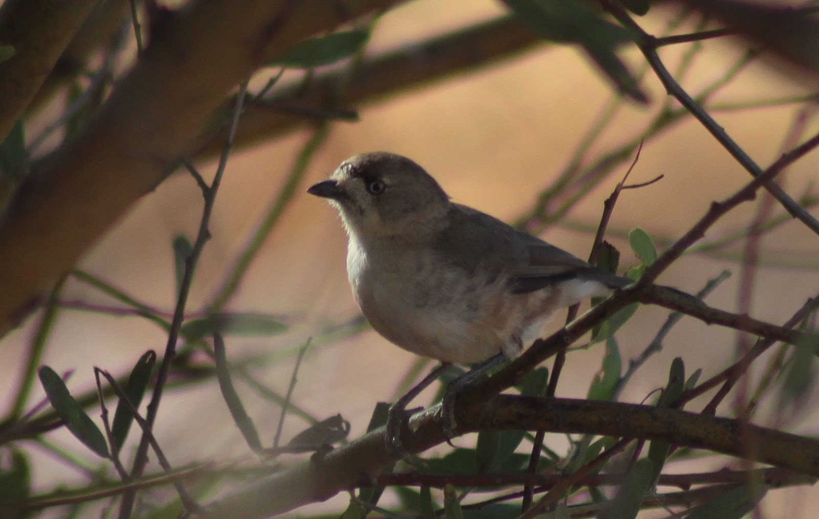 Richard Warings Birds Of Australia Southern Whiteface To Greet The