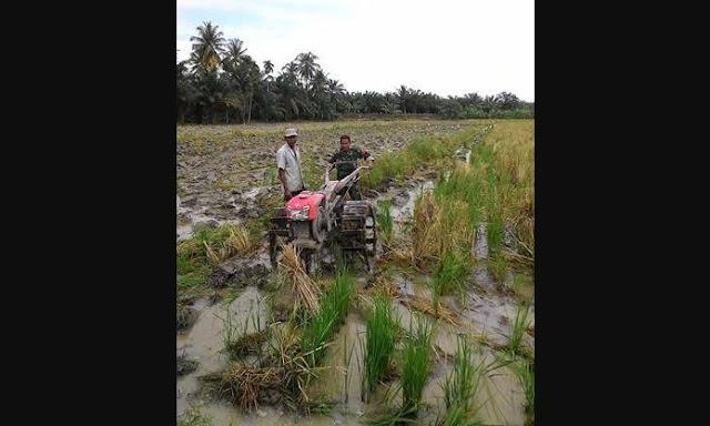 Dengan Menggunakan Hand Tractor, Babinsa Dampingi Petani Mengolah Sawah