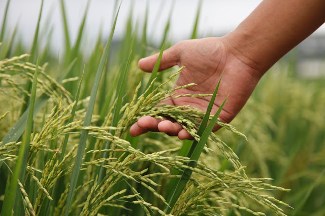 Musuh Berat Petani, 6 Hama Penyebab Tanaman Padi Gagal Panen