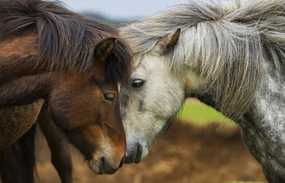 Iceland's horses are the country's cutest animal, after the North Atlantic puffins