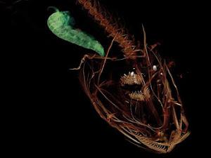 Inilah Ikan Terdalam di Palung Mariana Yang Pernah Ditemukan!