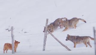 Τρεις λύκοι επιχειρούν να κατασπαράξουν σκύλο. Δεν περίμεναν ποτέ τέτοια αντίδραση του σκύλου