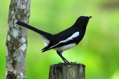 6  Tips Dan Cara Akurat Menjinakan Burung Kacer Giras Menjadi Cepat Jinak Terlengkap