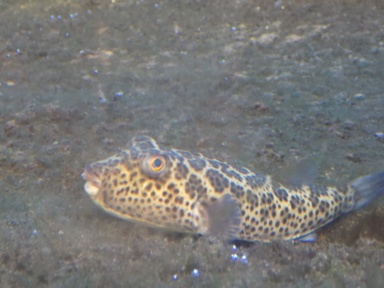 Cool goby blog for Puffer fish florida