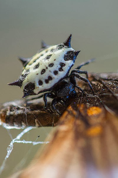 Image of a star spider eating a butterfly