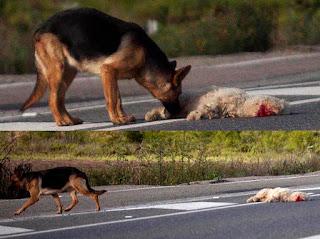 Sólo en España se calcula que mueren una media  de diez millones de animales atropellados en las carreteras. En el mundo la cifra es imposible de calcular. ¿Y no es curioso que casi en ninguno de los artículos de prensa se menciona este detalle cuando se habla de la extinción de las abejas?