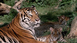 Nepal becomes first country to double its tiger population