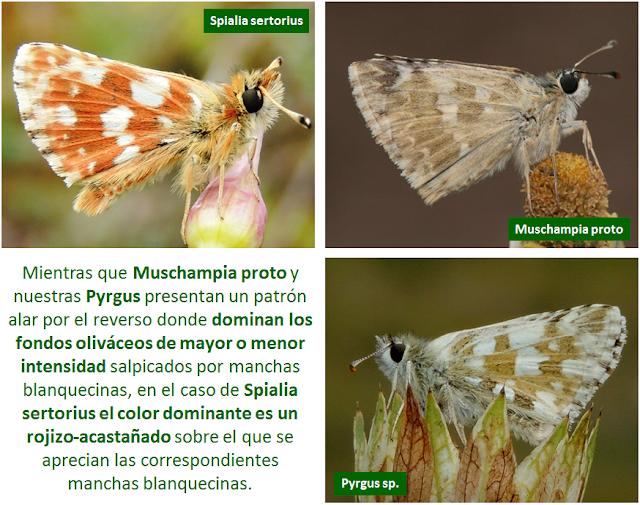 Reversos de Spialia sertorius, Muschampia proto y Pyrgus sp.