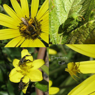 Bee, shield bug, monkey beetles, crab spider