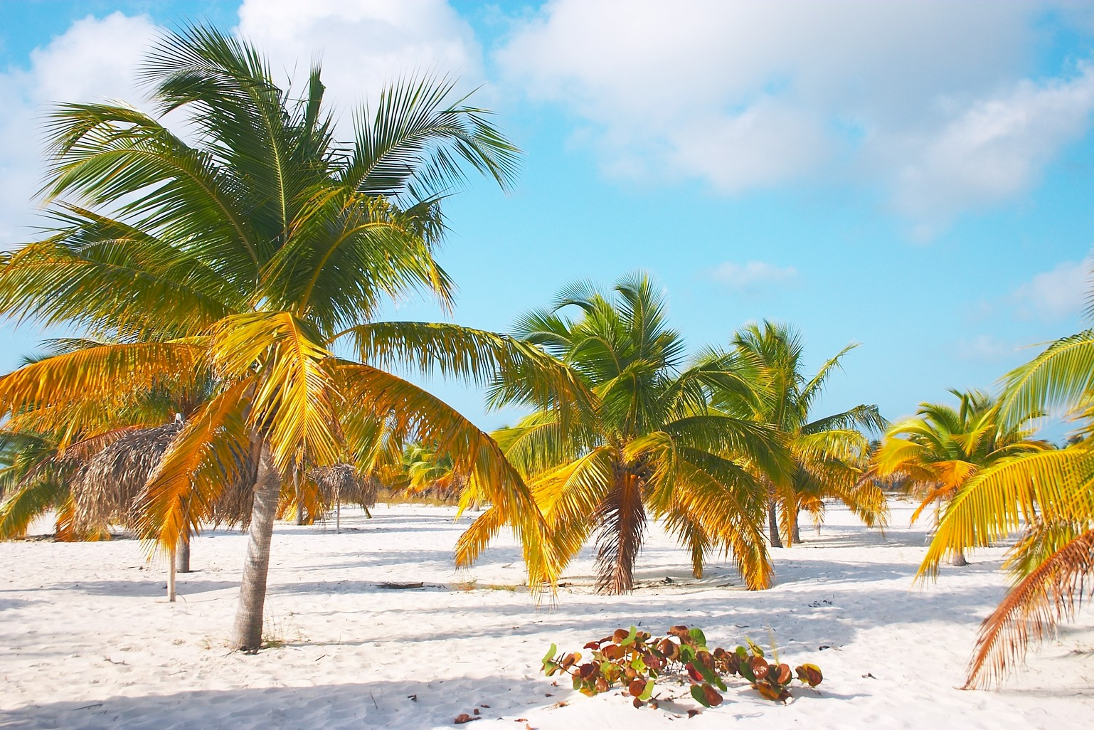 Funny Pictures Gallery: Palm Trees On The Beach, Palm Tree