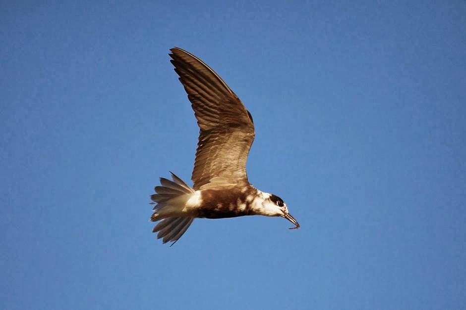 Gaviotín negro: Chlidonias niger
