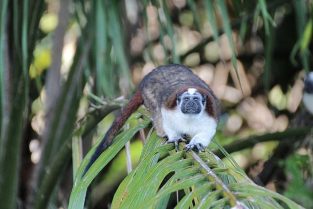Monos cariblancos