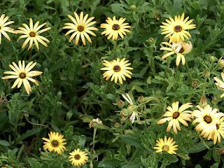 Dimorphothèque à feuilles sinuées - Marguerite du Cap - Souci du Cap - Marguerite africaine - Dimorphotheca sinuata