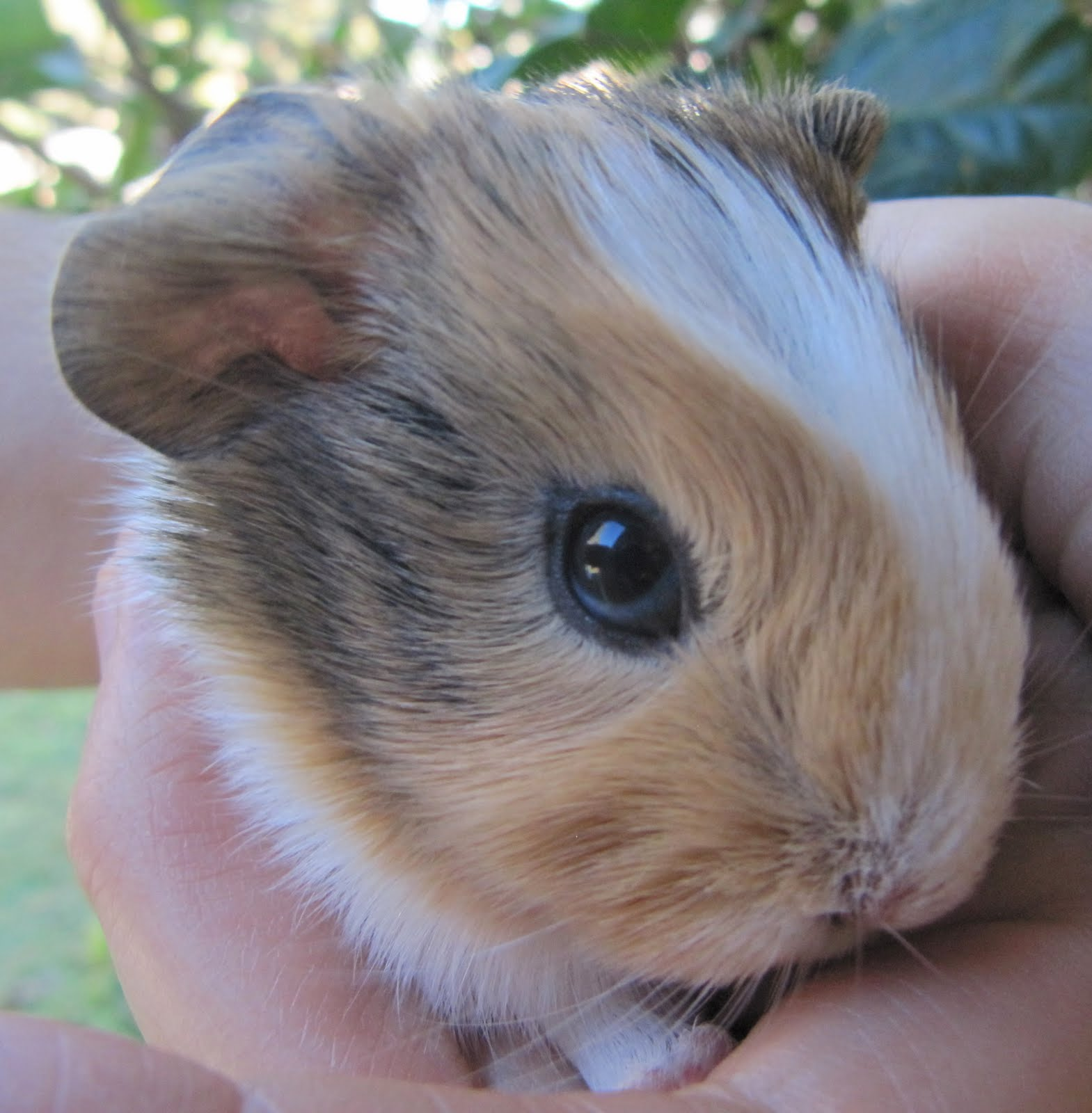 All Things Guinea Pig: Sheba's Baby Boy - Bodie  All Things Guin...