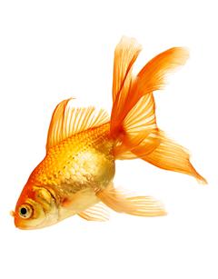 Pez japones amazonic for Enfermedades de peces goldfish