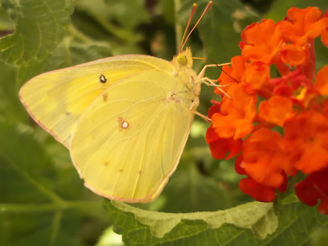 An image of a Clouded Yellow Butterfly wings closed atop a Spanish-flag Lantana
